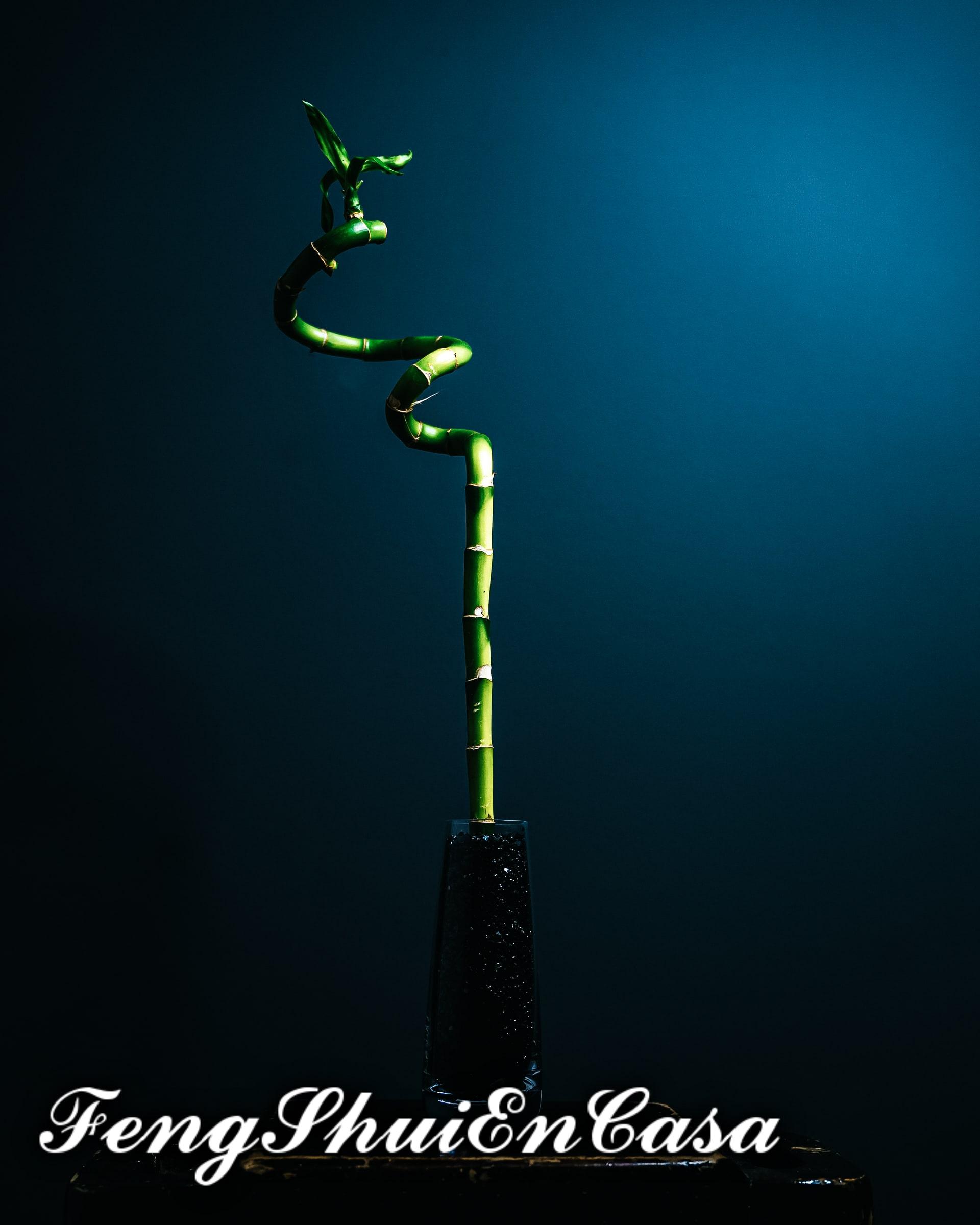 bambu de la suerte feng shui